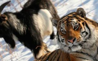 Тигр Амур и козел Тимур отзывы